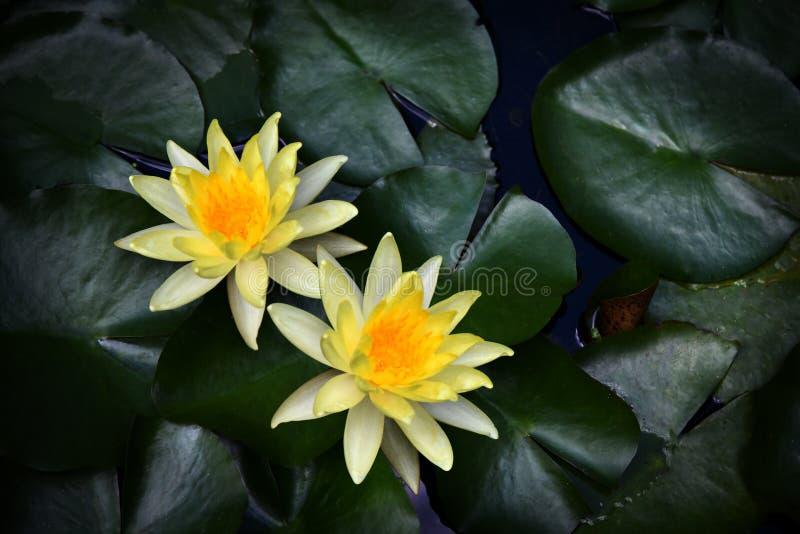 waterlily imagem de stock