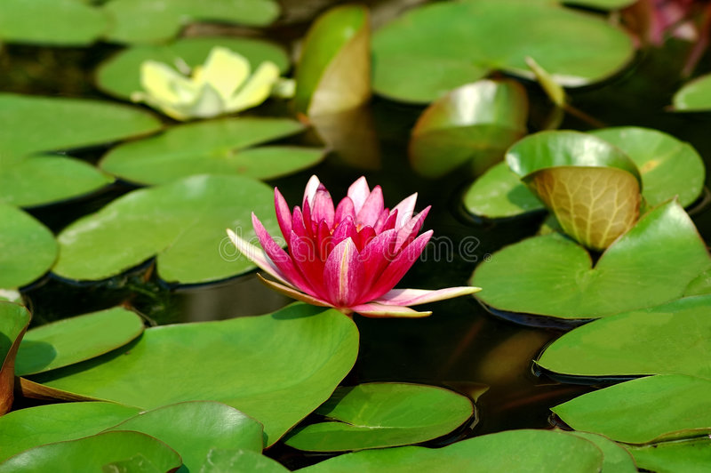 Download Waterlily Royalty Free Stock Image - Image: 199596