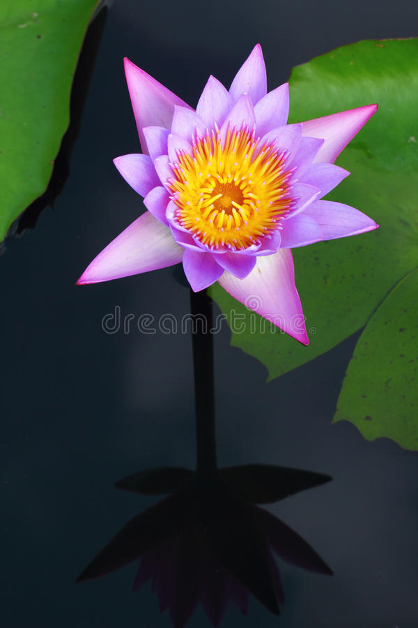 Download Waterlily stock photo. Image of environment, closeup - 22146148
