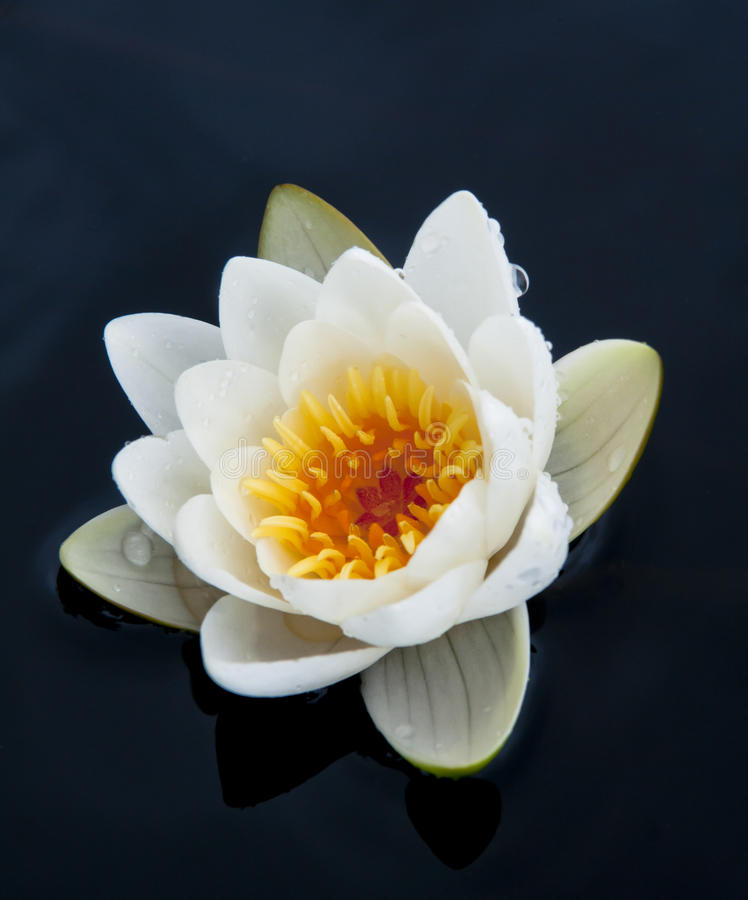 Waterlily royalty-vrije stock fotografie