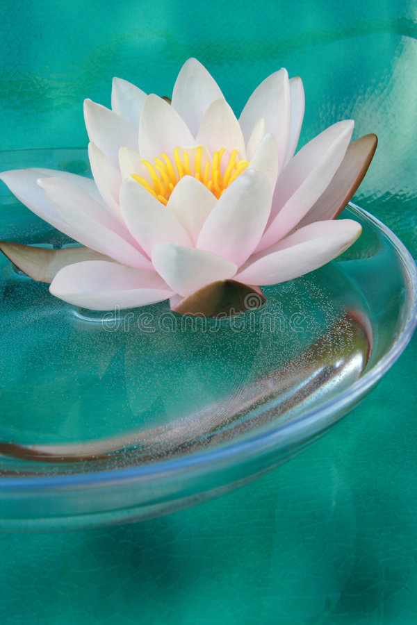 waterlily zdjęcie royalty free
