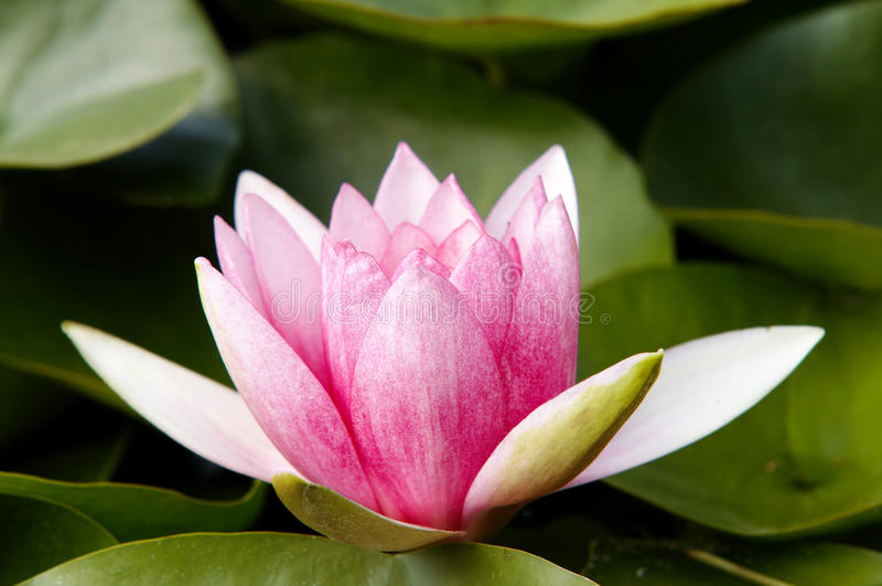 Download Waterlily stock image. Image of flower, pistil, plant - 28911525
