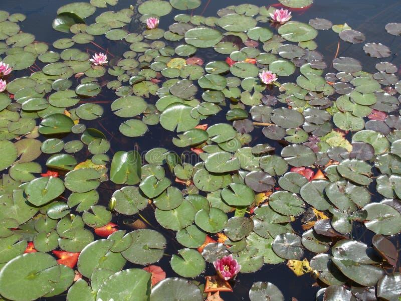Waterlily стоковые фотографии rf