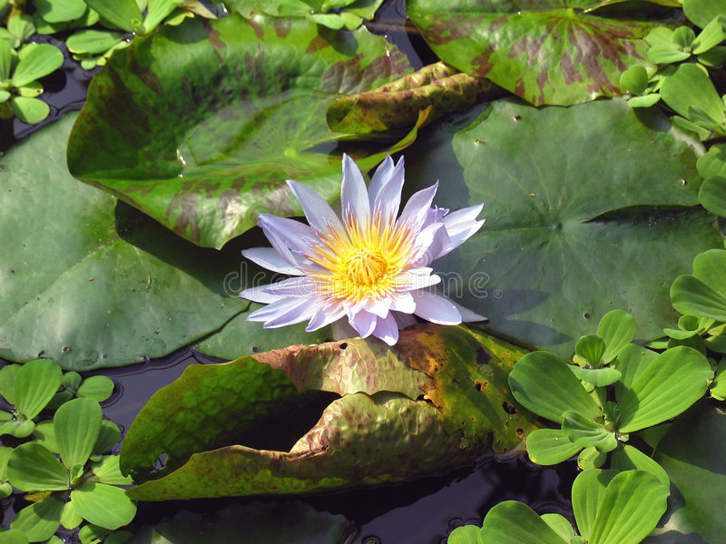 Download Waterlily stock image. Image of waterlily, petal, botany - 39485