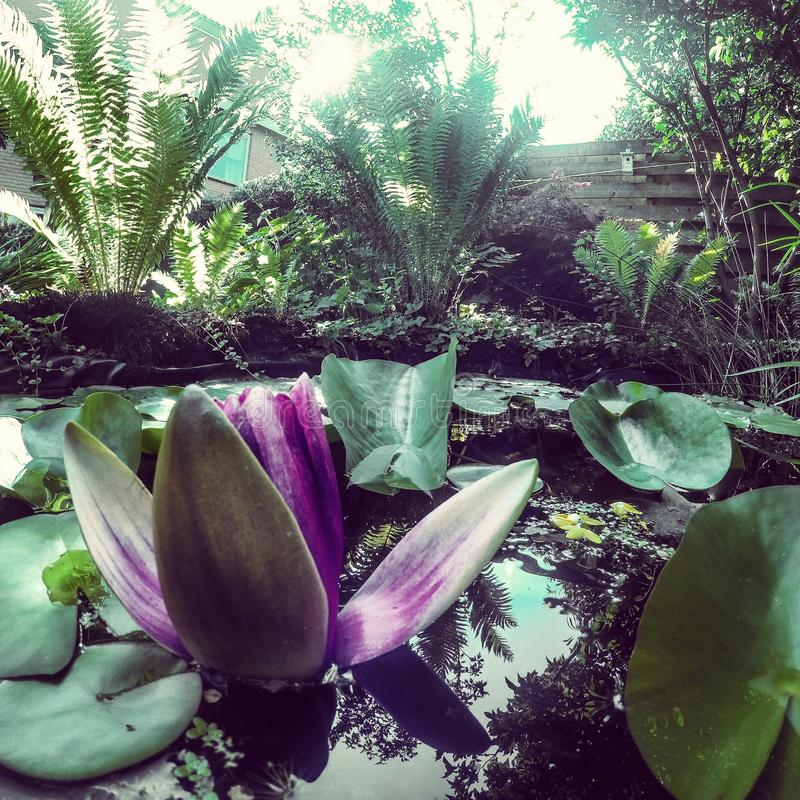 waterlily royalty-vrije stock foto