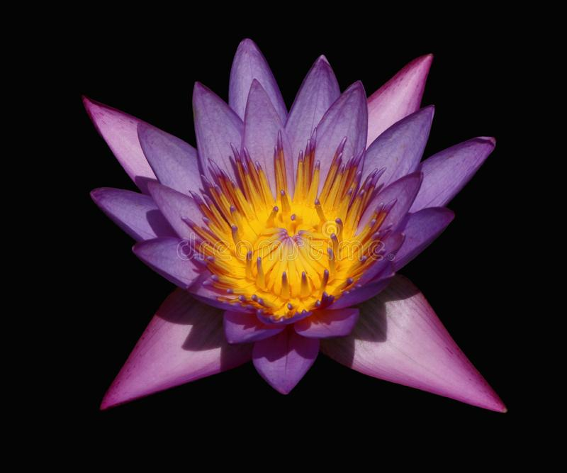 Waterlily in the dark stock images