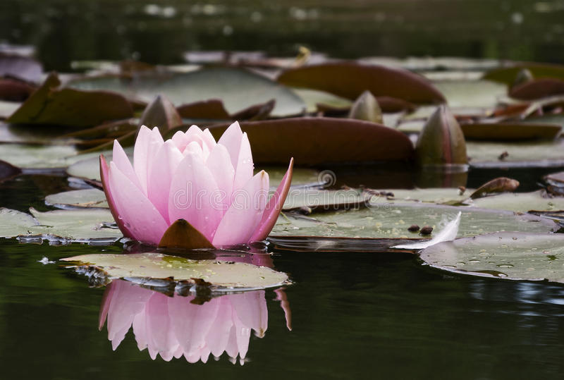 waterlily stock foto