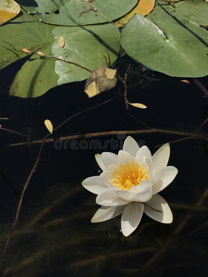 waterlily imagenes de archivo