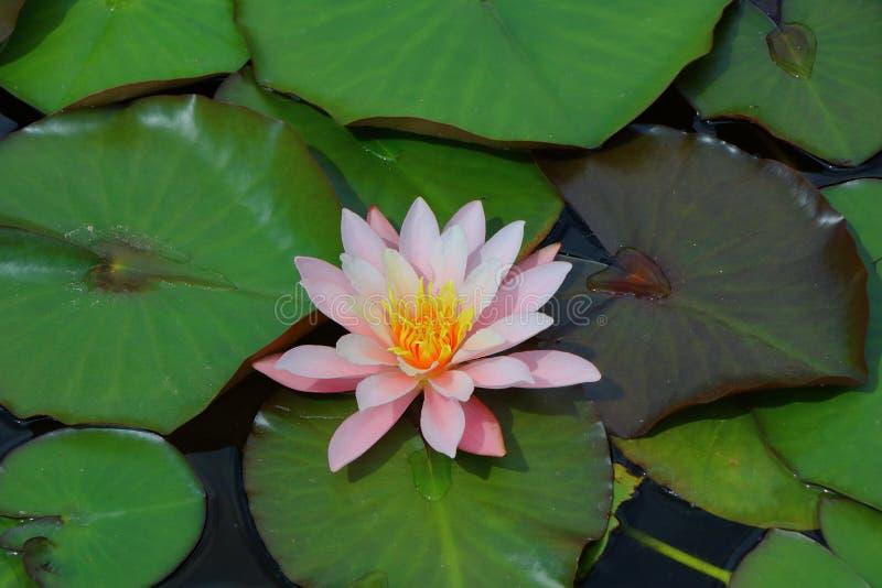 waterlily lizenzfreie stockfotografie