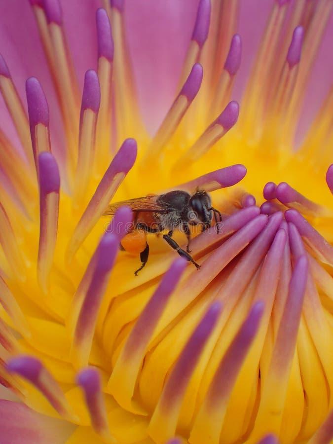 Waterlily avec l'abeille image libre de droits