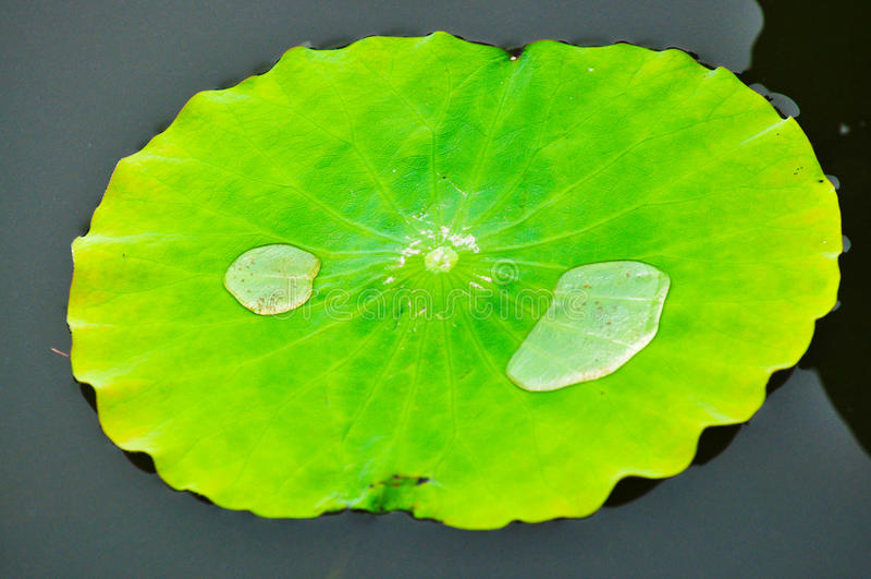Waterlily blad med vattendroppe p fotografering för bildbyråer