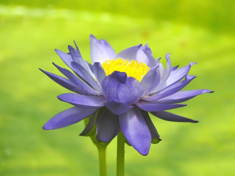 Waterlily bleu photographie stock libre de droits