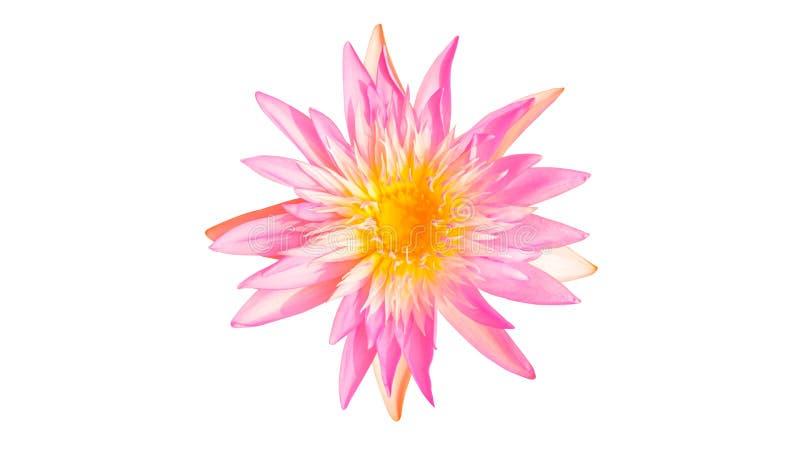 WaterLily blomma royaltyfri fotografi