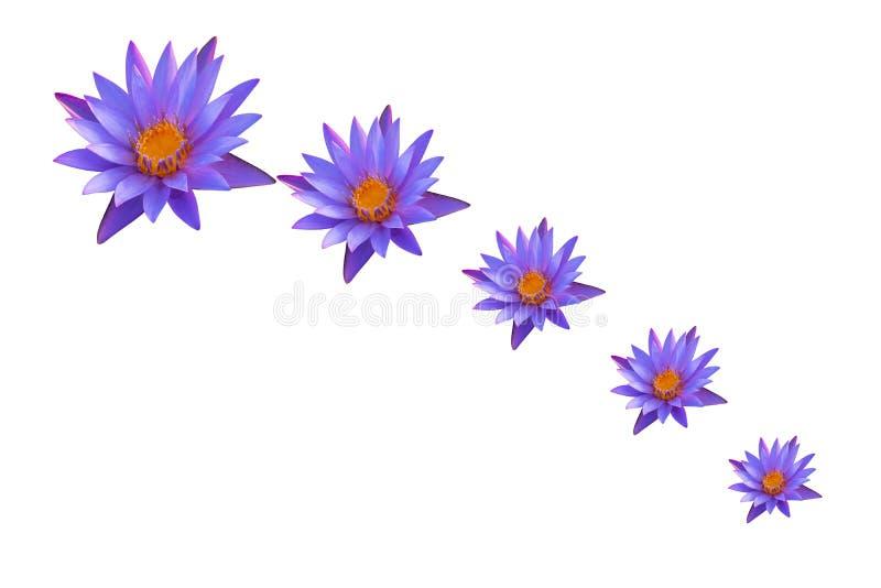 Waterlily blommor eller lotusblommablommor som isoleras på vit bakgrund Symbol av buddism, thailändsk religion royaltyfri fotografi