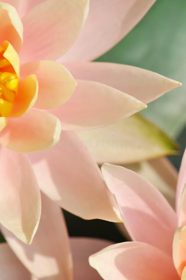Waterlily in bloom. Two blooming pink Star Lotus or waterlilies stock photography