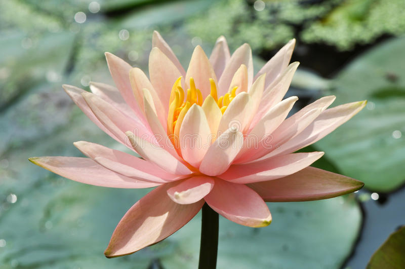 Waterlily in bloom stock photo