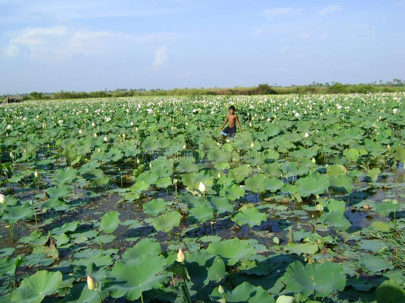 Waterlily Cambodia large leaf growing in water. Cambodia boy in water with waterlily green large leaf vegetation royalty free stock photo