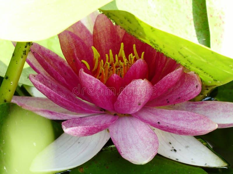 Waterlily che si nasconde sotto le foglie immagine stock