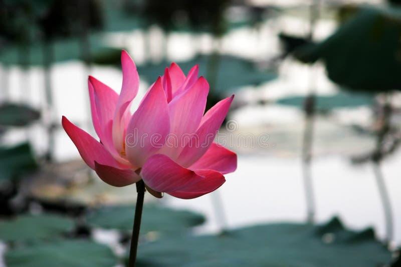 Waterlily cor-de-rosa foto de stock royalty free