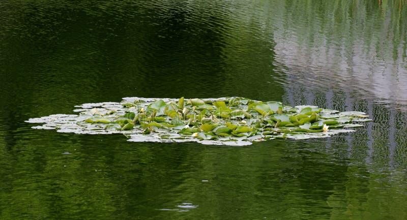 Waterlily e reflexões fotos de stock
