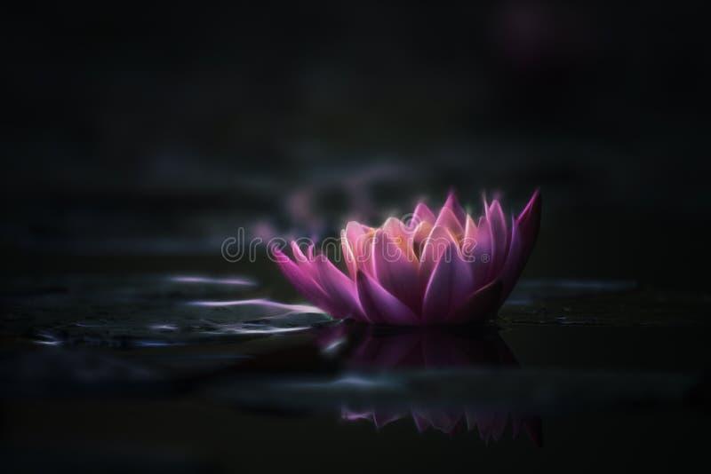 Waterlily eller lotusblommablomma i dammet fotografering för bildbyråer