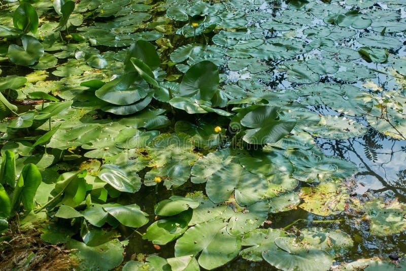 Waterlily en bezinningsboom stock fotografie