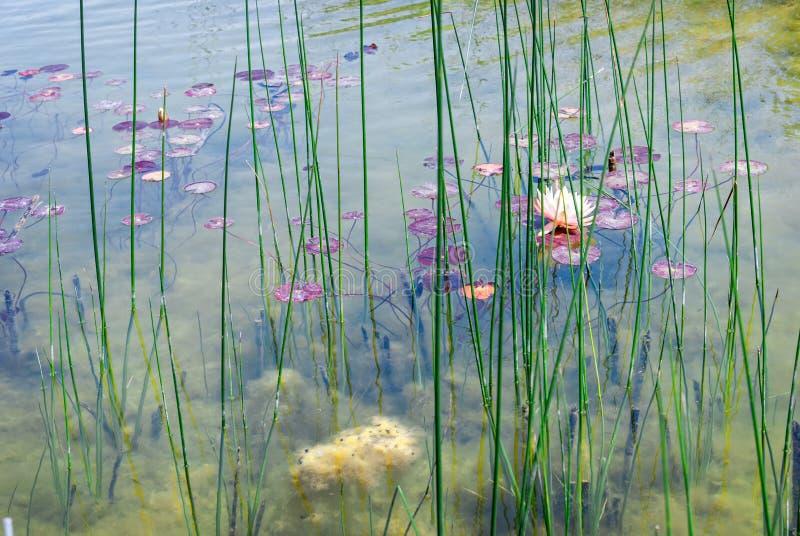 Waterlily en parc d'Ariel Sharon, Israël image libre de droits