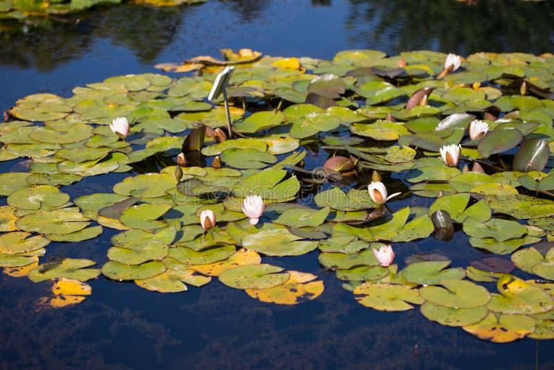 Waterlily en un jardín botánico, en verano fotografía de archivo