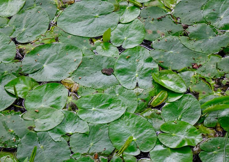 Waterlily flor branca na lagoa no jardim imagens de stock royalty free