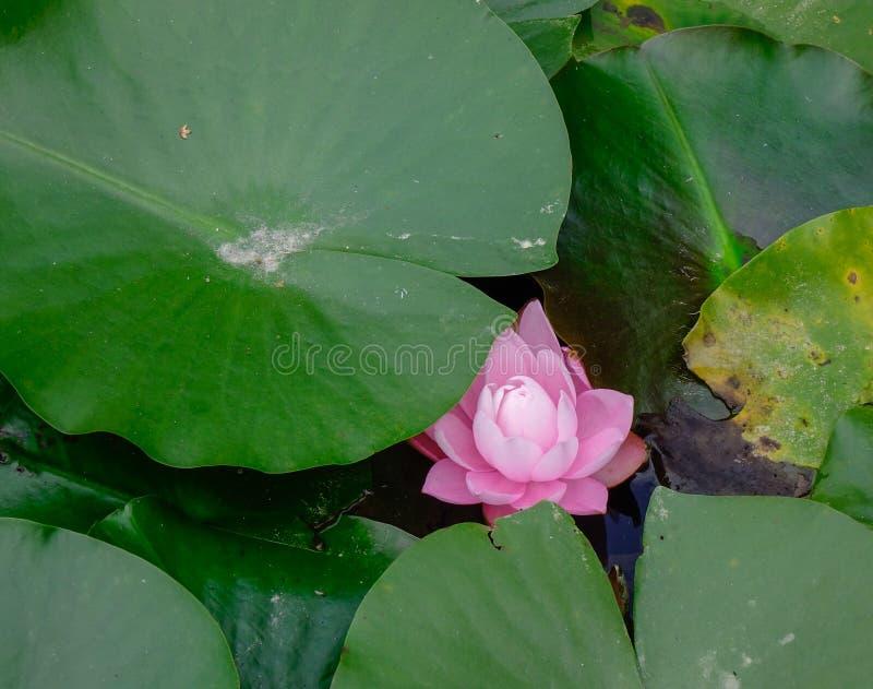 Waterlily flor branca na lagoa no jardim fotos de stock