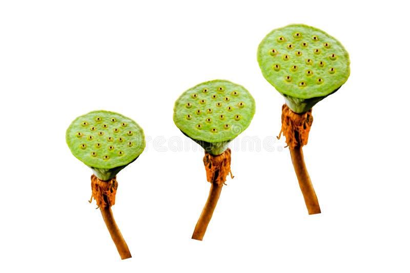 Waterlily frö eller lotusblommafrö, organiska växter för sund hjärta på vit bakgrund arkivfoto