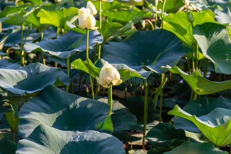 Waterlily hermoso en el lago Carter Iowa y Omaha Nebraska imagen de archivo