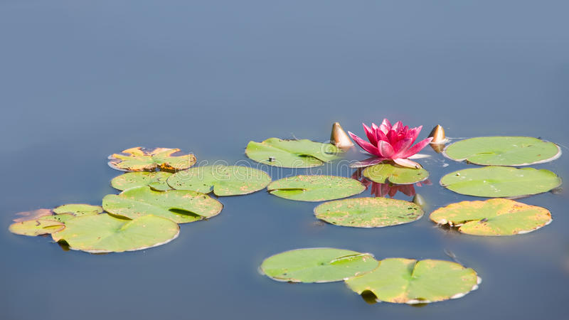 Waterlily i det trädgårds- dammet royaltyfri foto