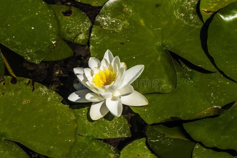 Waterlily i ett damm royaltyfri foto