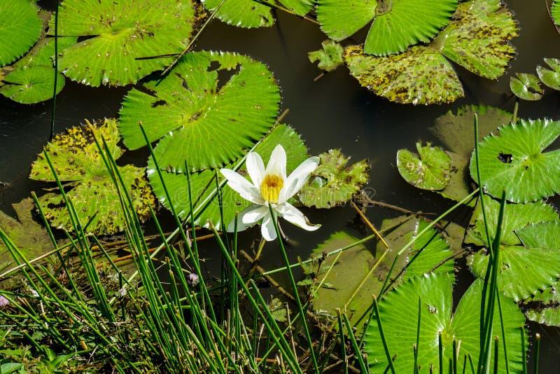 Waterlily i udziały liście fotografia stock