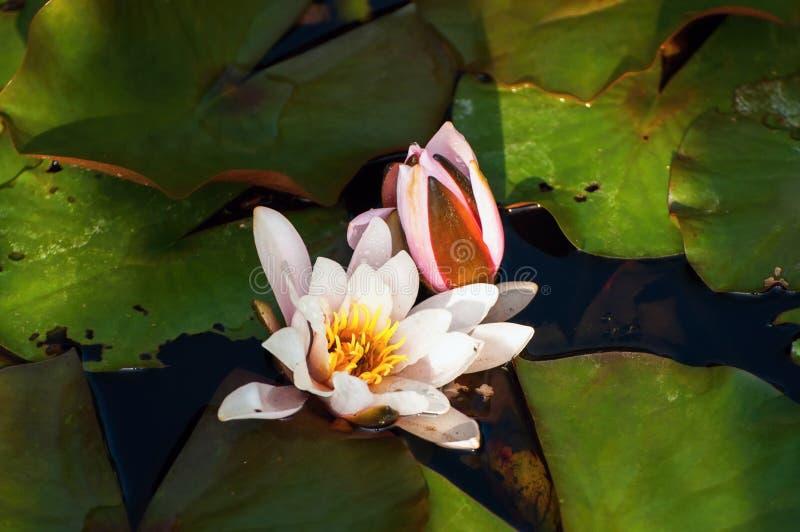 Waterlily kwiat w stawie fotografia stock