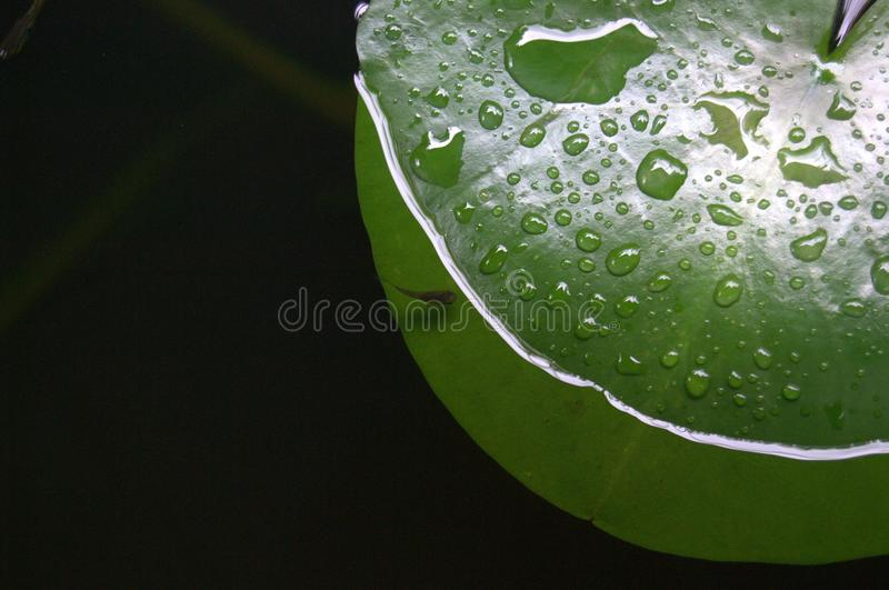 A waterlily leaf and a tiny fish stock images