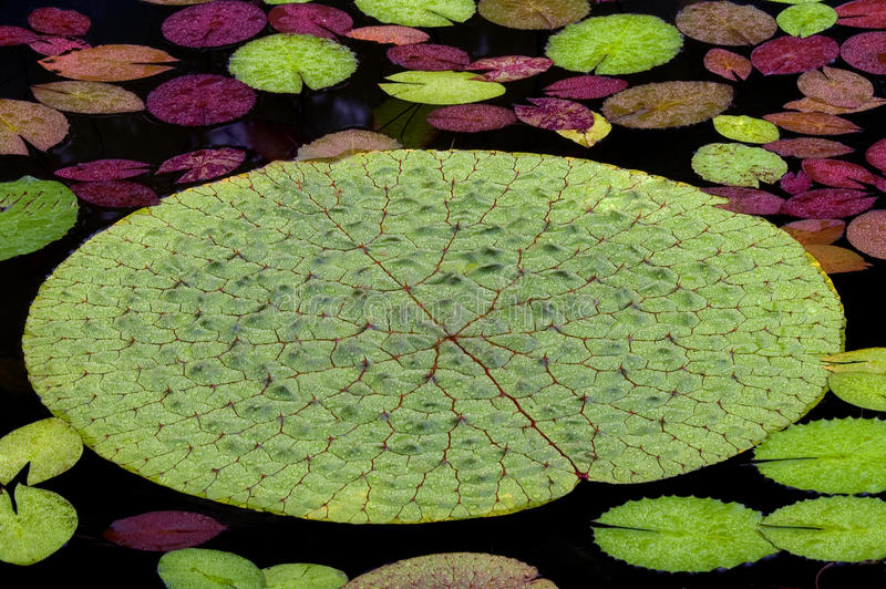 Waterlily Leaves royalty free stock image