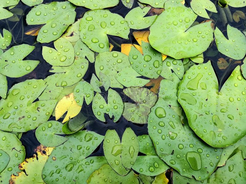 Waterlily leaves and raindrops royalty free stock image