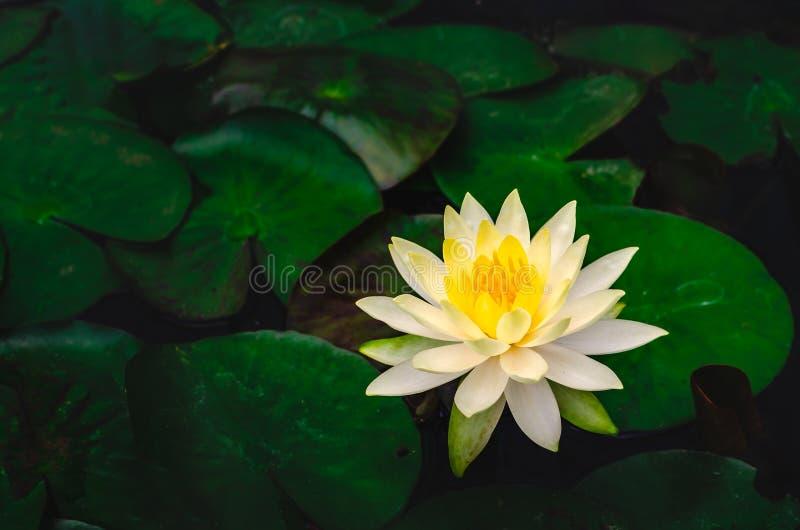 Waterlily-Lotosblume im schönen blauen Wasser im Garten stockfotografie
