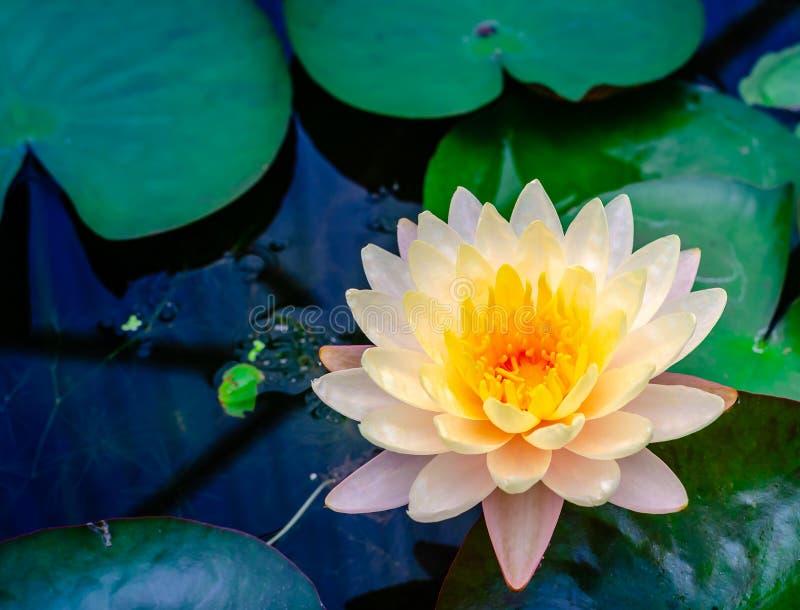 Waterlily-Lotosblume im schönen blauen Wasser im Garten lizenzfreie stockfotografie