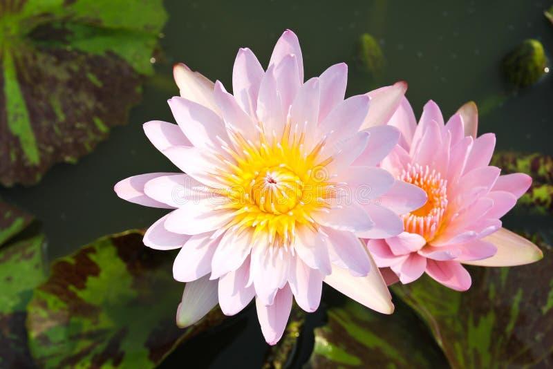 Waterlily of lotusbloembloem royalty-vrije stock afbeeldingen