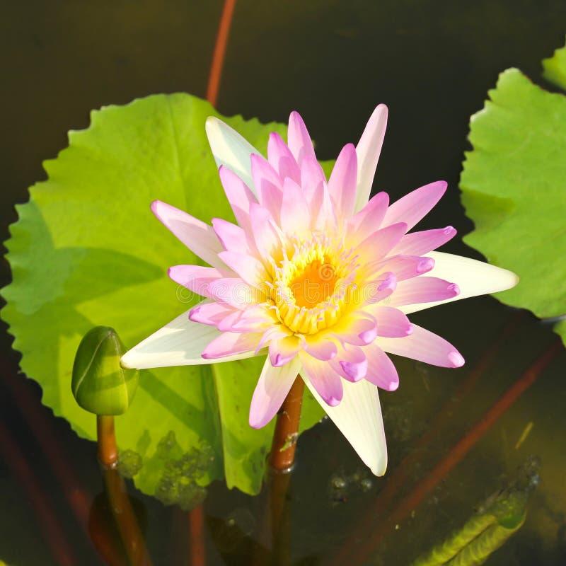 Waterlily of lotusbloembloem stock afbeeldingen