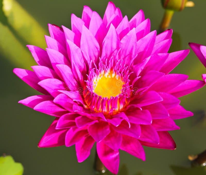 Waterlily of lotusbloembloem royalty-vrije stock foto