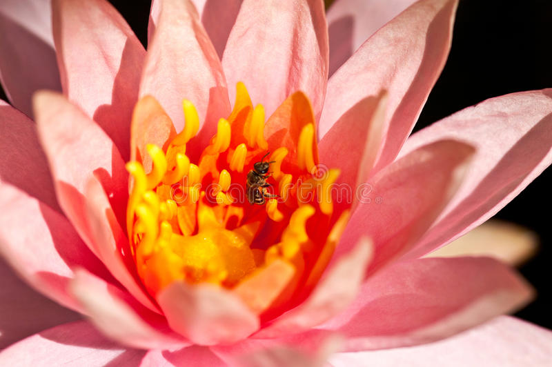 Waterlily of lotusbloembloem stock fotografie