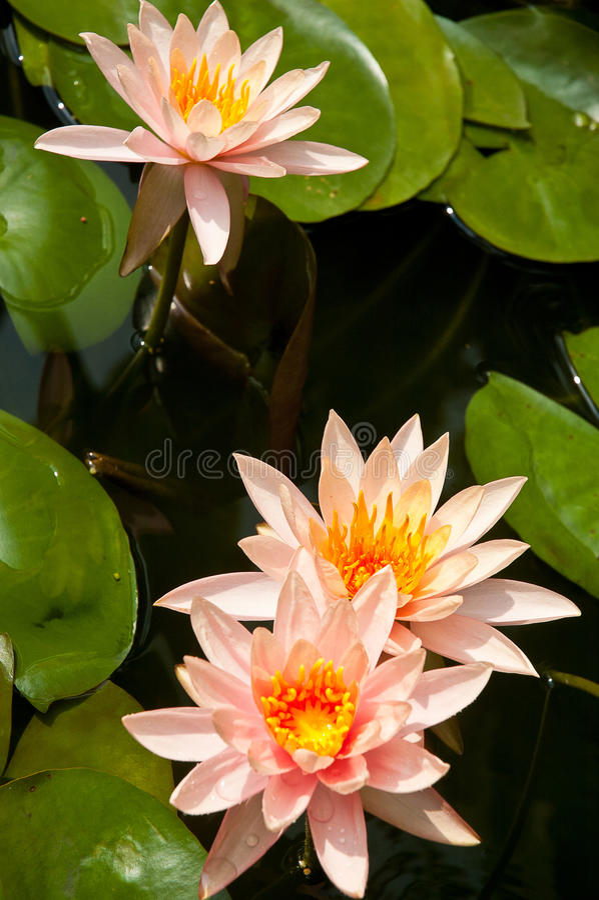 Waterlily of lotusbloembloem royalty-vrije stock fotografie