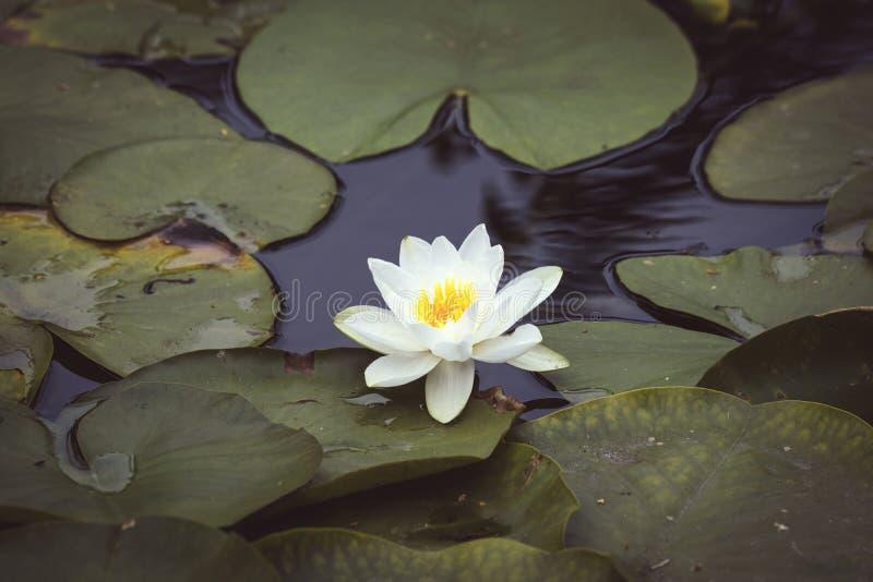 Waterlily met een witte bloem in donker water royalty-vrije stock foto