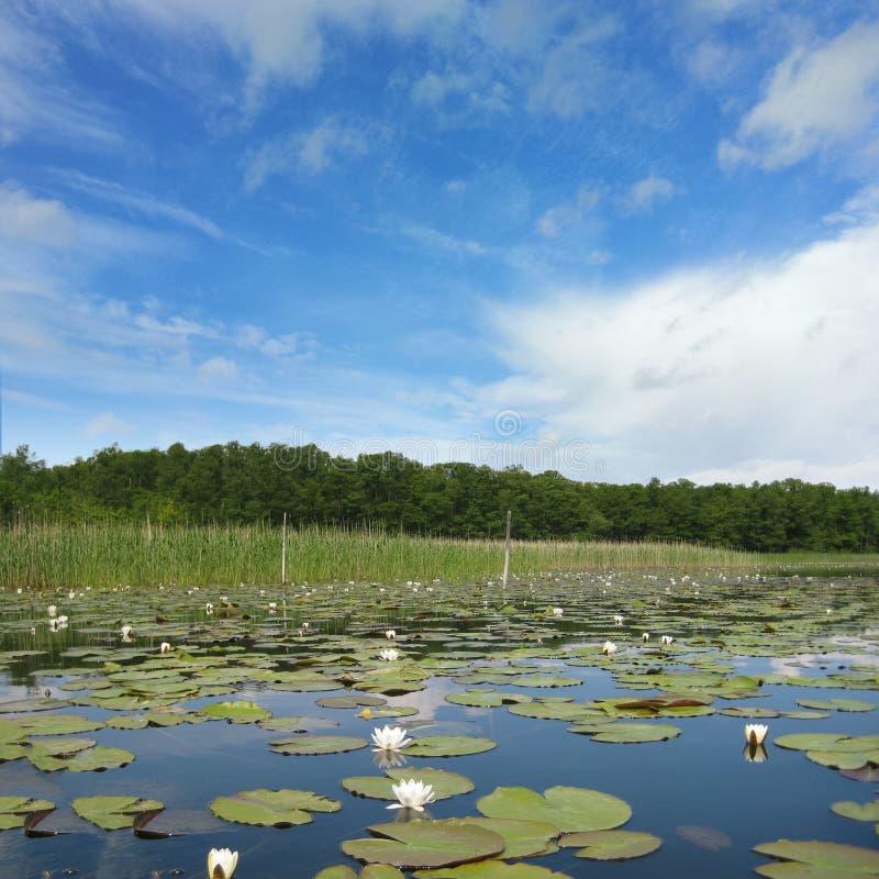 Waterlily nel lago Mueritz fotografia stock libera da diritti