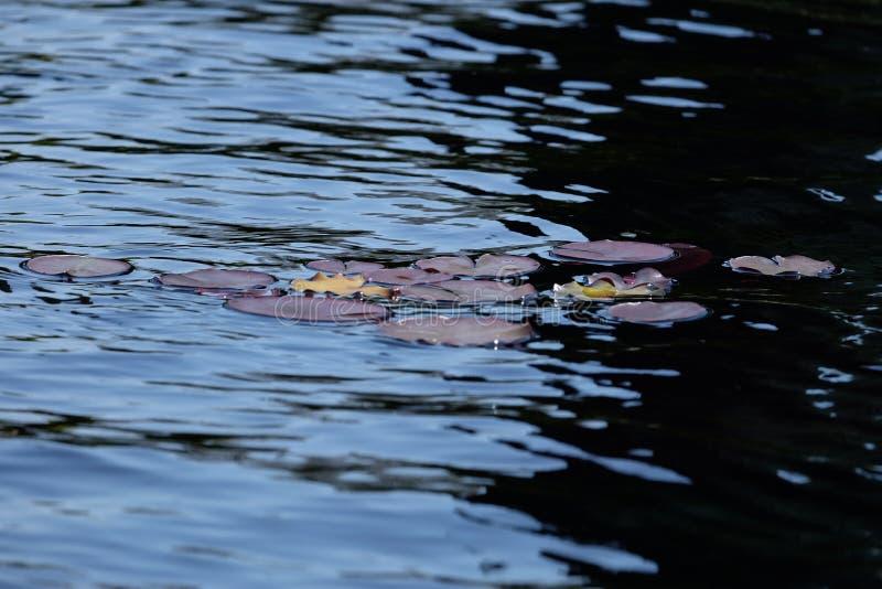 Waterlily op water in de Fontein binnen de Amerikaanse Begraafplaats royalty-vrije stock afbeelding
