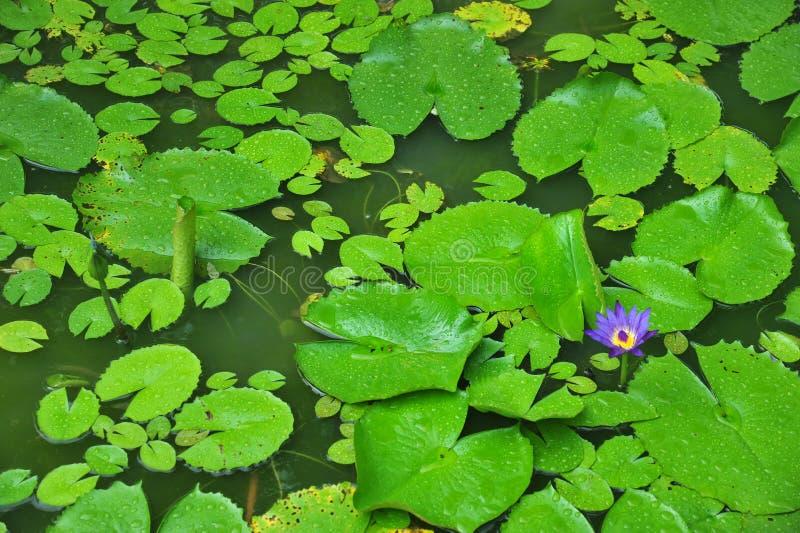Waterlily Plants stock photo